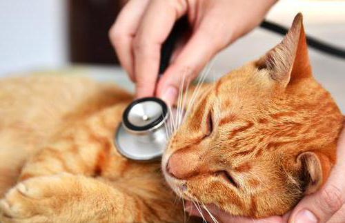 причины и лечение пневмонии у кошек
