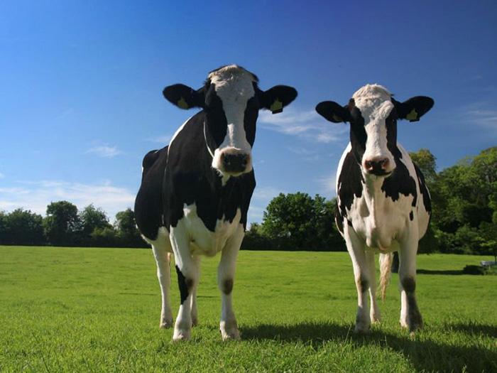 Две черные пестрые коровы