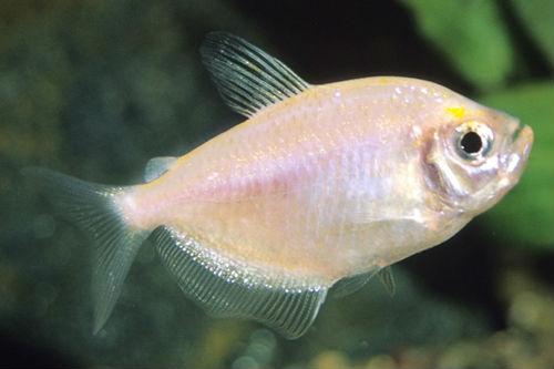 Рыбка терднеция белая