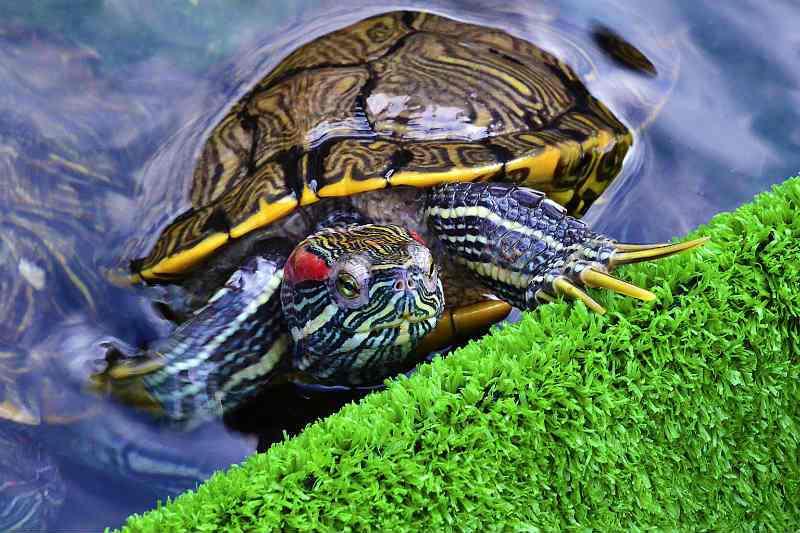 Сколько живут красноухие черепахи в природе