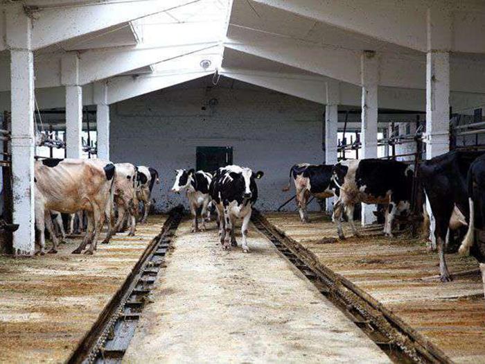 Холмогорские коровы в помещении