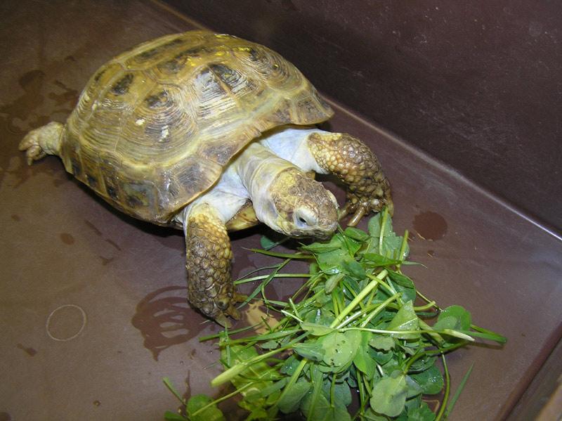 Сухопутная черепаха в доме