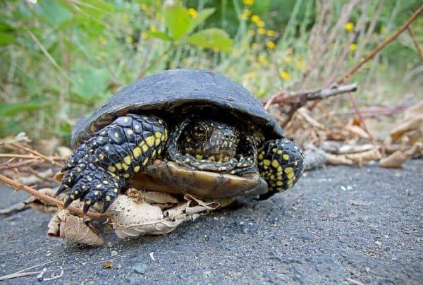 Удивительная европейская болотная черепаха