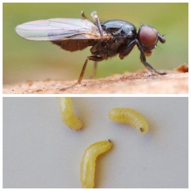 Чем вредна личинка мухи