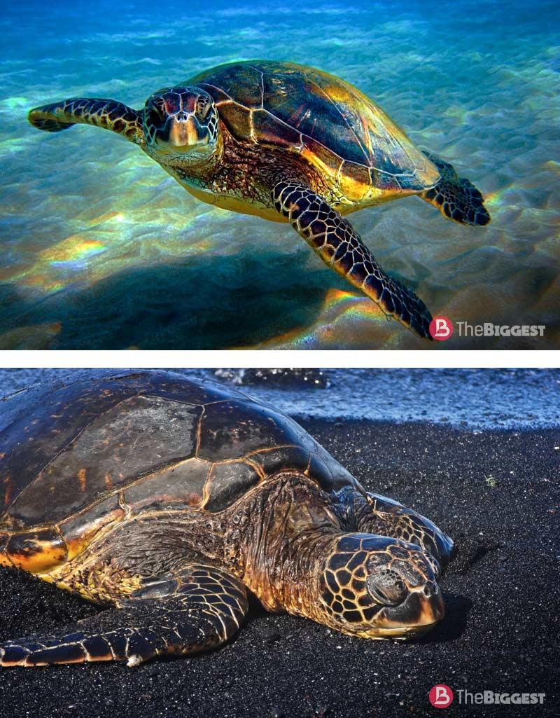 Зеленая черепаха