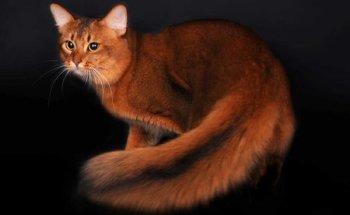 Особенности внешнего вида и характера сомалийского кота