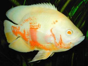 Астронотус альбиносный - рыбы белого цвета