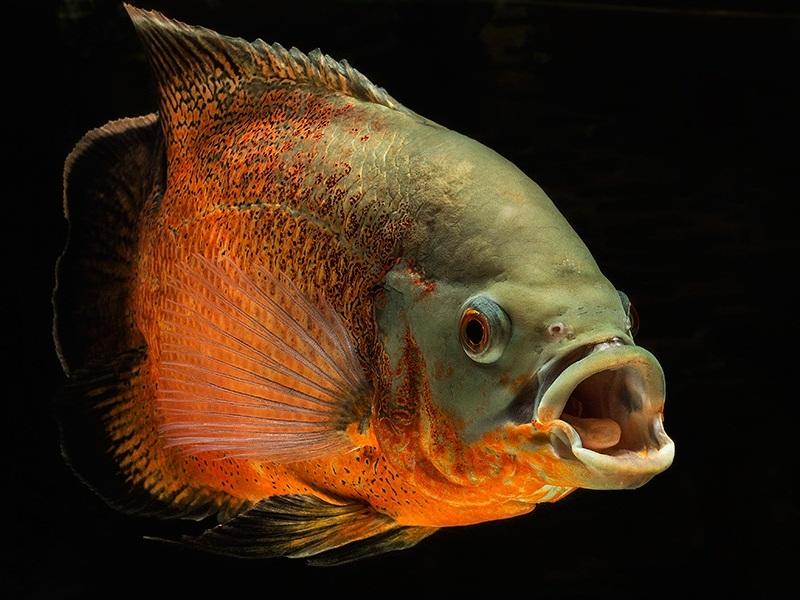 Астронотус глазчатый - разновидность рыбки