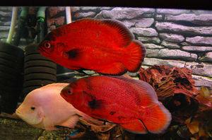 Астронотус красный - яркие рыбки