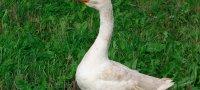 Витамины Тетравит: инструкция по применению для животных и птиц