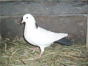 Истории о голубях и голубятниках