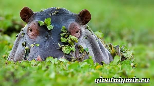 Бегемот-животное-Образ-жизни-и-среда-обитания-бегемота-3