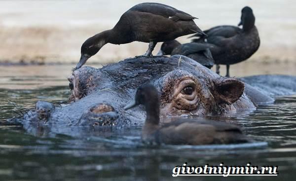 Бегемот-животное-Образ-жизни-и-среда-обитания-бегемота-5