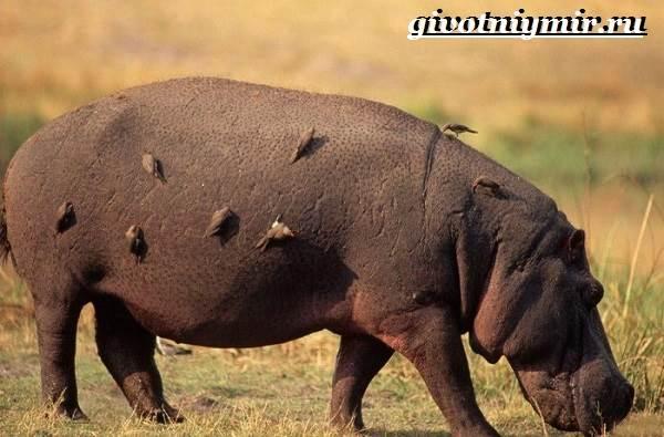 Бегемот-животное-Образ-жизни-и-среда-обитания-бегемота-8