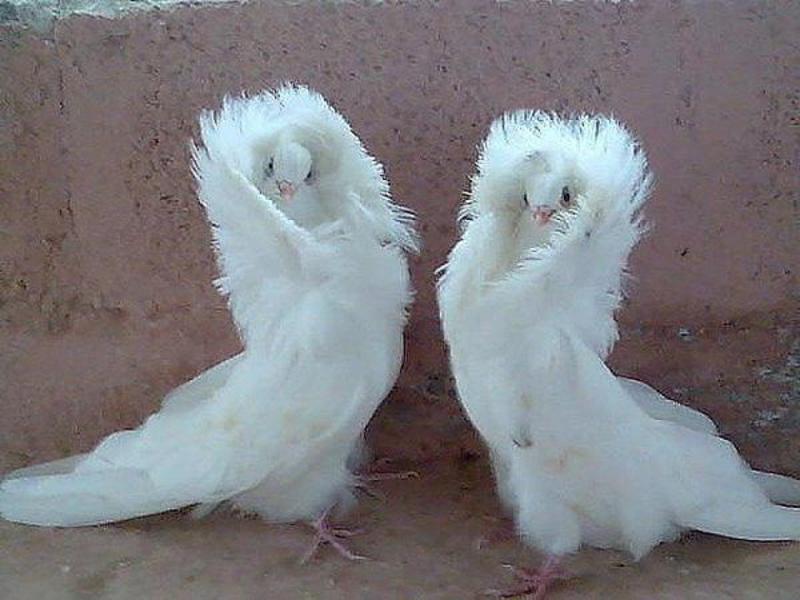 Описание голубей