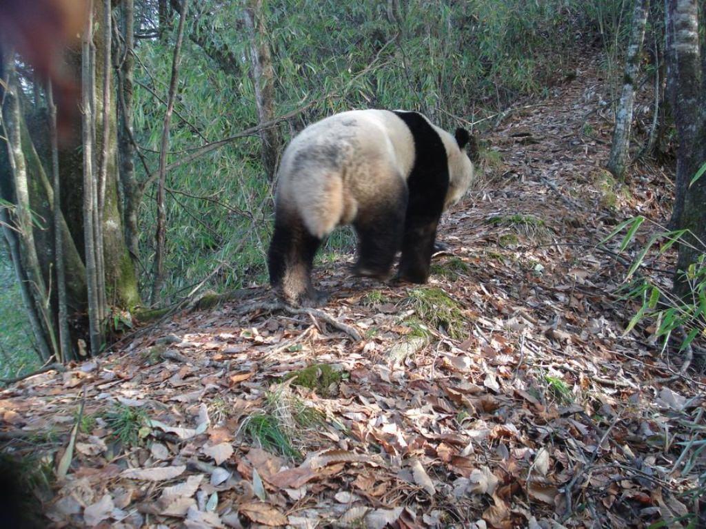 Большая панда или бамбуковый медведь (лат. Ailuropoda melanoleuca) (англ. Giant panda)