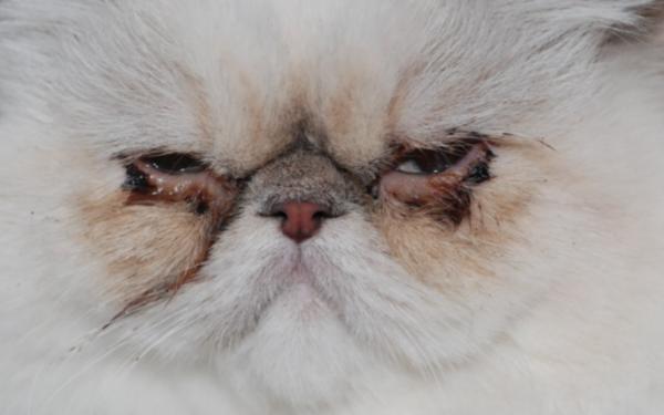 Конъюнктивит у персидской кошки.png