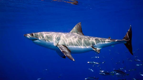 Вес взрослой белой акулы колеблется в пределах 650-3000 кг