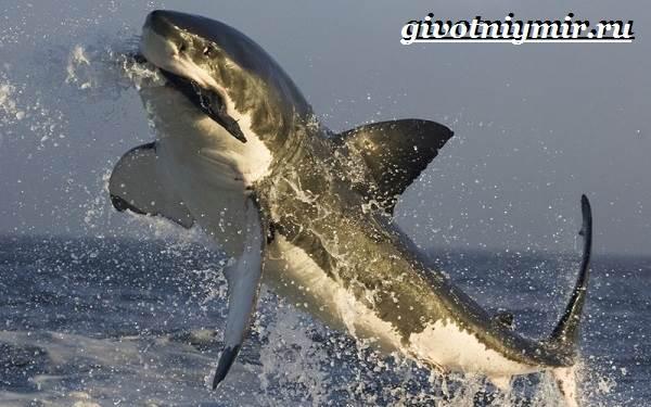 Большая-белая-акула-Образ-жизни-и-среда-обитания-большой-белой-акулы-6