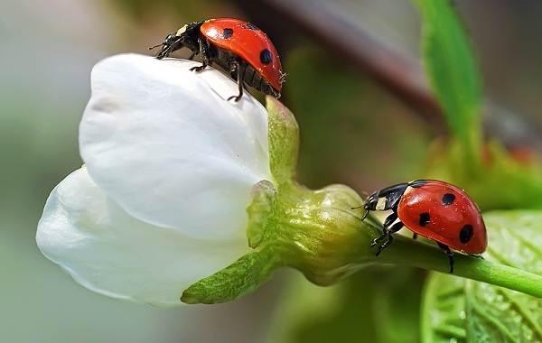 Божья-коровка-насекомое-Описание-особенности-виды-и-среда-обитания-божьей-коровки-4