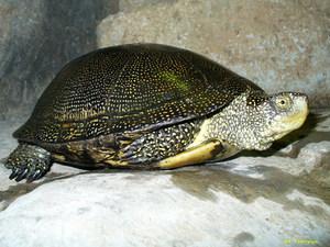 Особенности содержания болотной черепахи дома