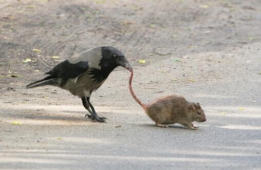 чем кормить ворону - грызуны