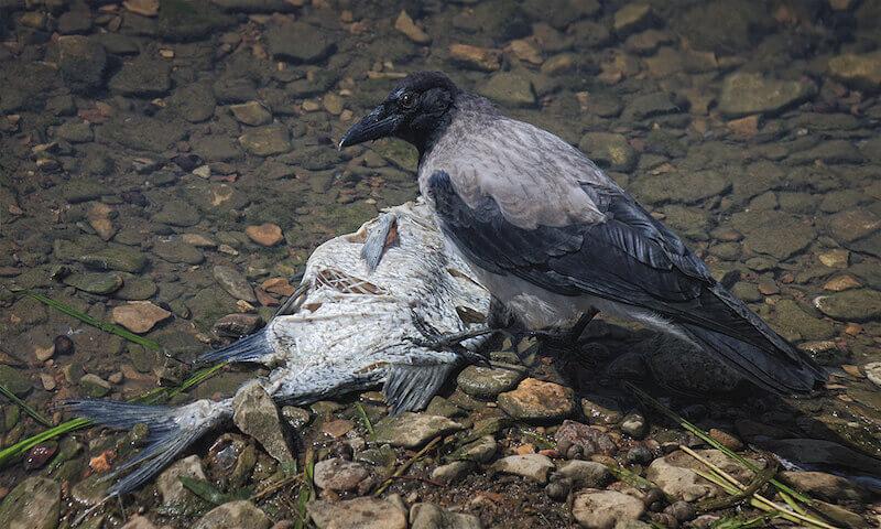 чем кормить ворону - речная и морская рыба