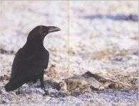 Что едят вороны в городских условиях
