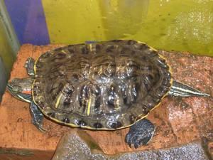 Как выглядит черепаха красноухая