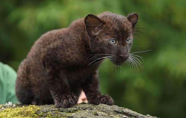 Чёрная-пантера-Описание-особенности-образ-жизни-и-среда-обитания-11