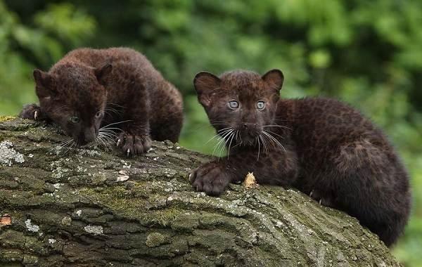 Чёрная-пантера-Описание-особенности-образ-жизни-и-среда-обитания-12