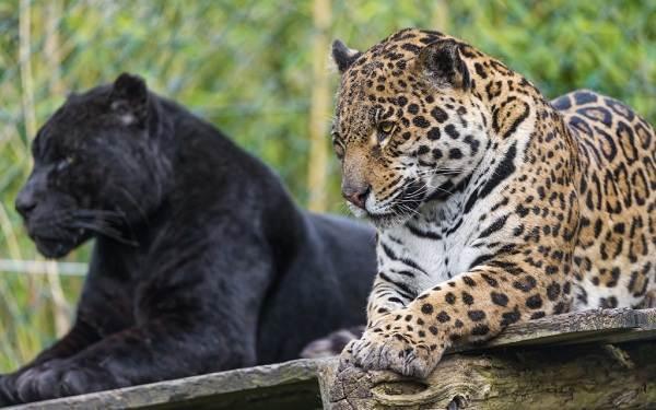 Чёрная-пантера-Описание-особенности-образ-жизни-и-среда-обитания-2