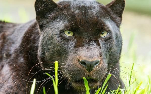 Чёрная-пантера-Описание-особенности-образ-жизни-и-среда-обитания-4
