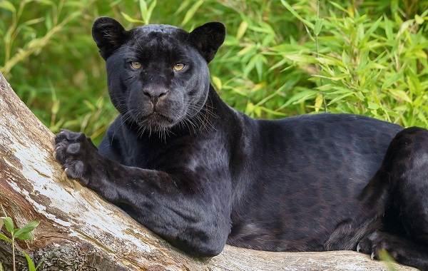 Чёрная-пантера-Описание-особенности-образ-жизни-и-среда-обитания-7