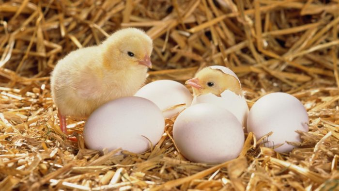 Сколько максимум дней курица высиживает яйца до цыпленка?