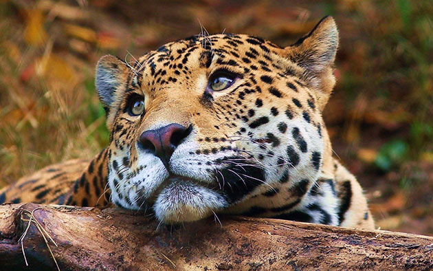 Panthera pardus orientalis (дальневосточный леопард) внесен в Красную книгу