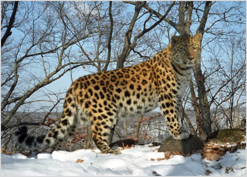 Амурский леопард гуляет по лесу