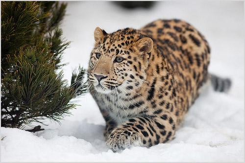 Дальневосточный леопард бежит по снегу