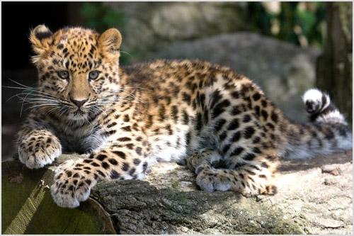 Котенок дальневосточного леопарда