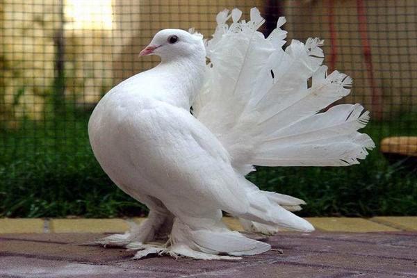 Что едят декоративные голуби