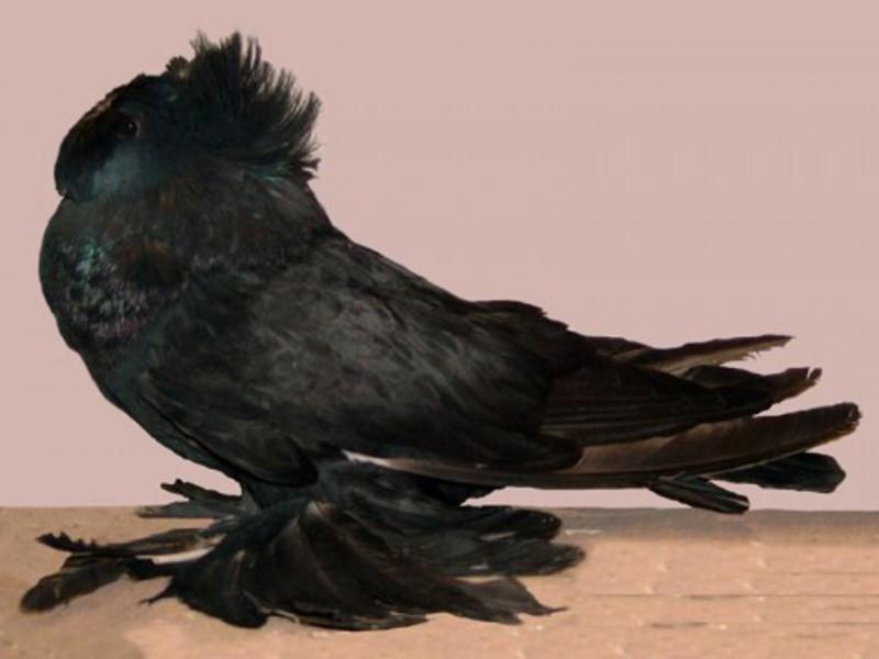 Чем питается голубь