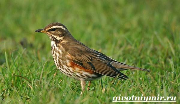 Дрозд-птица-Образ-жизни-и-среда-обитания-дрозда-4
