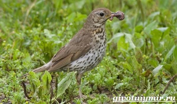 Дрозд-птица-Образ-жизни-и-среда-обитания-дрозда-6