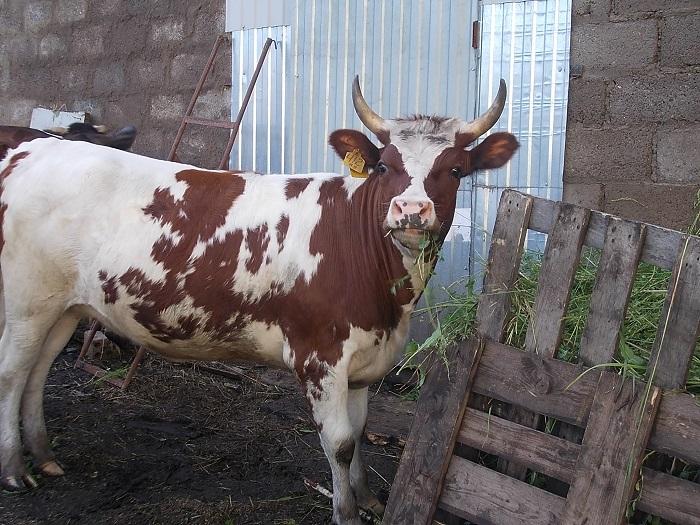 Айрширская корова на ферме