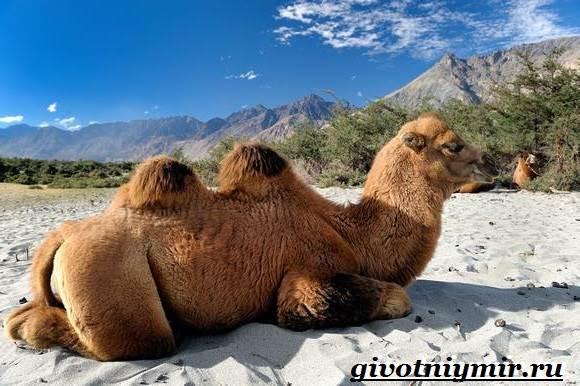 Двугорбый-верблюд-Образ-жизни-и-среда-обитания-двугорбого-верблюда-5