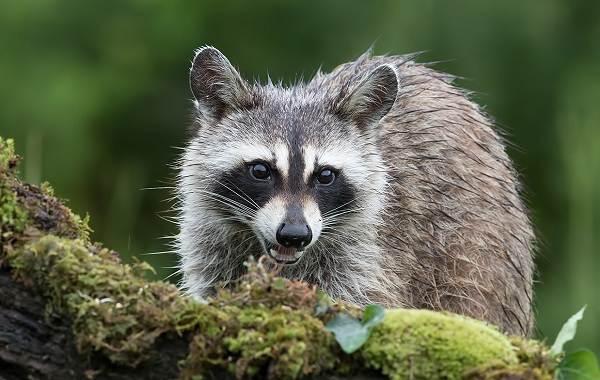 Енот-полоскун-животное-Описание-особенности-образ-жизни-и-среда-обитания-енота-полоскуна-1