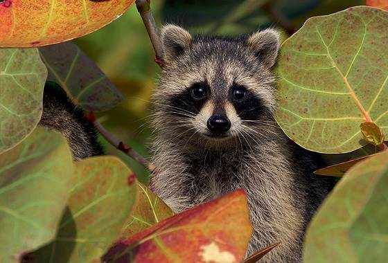 Енот-полоскун-животное-Описание-особенности-образ-жизни-и-среда-обитания-енота-полоскуна-7