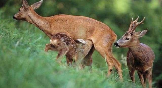 У новорождённых косулят окраска пятнистая, что позволяет им маскироваться среди летней растительности.