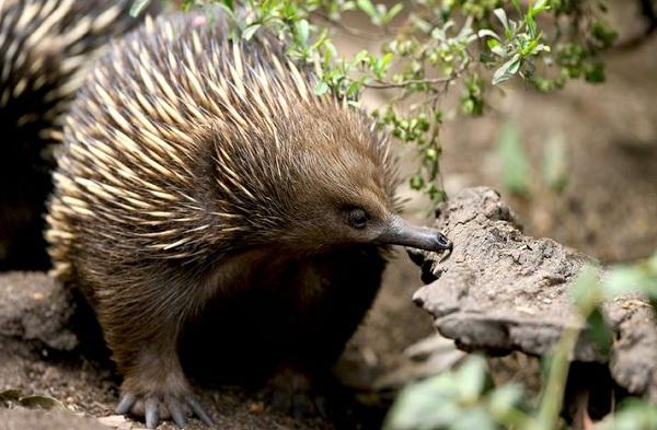 Ехидна-животное-Описание-особенности-образ-жизни-и-среда-обитания-ехидны-11