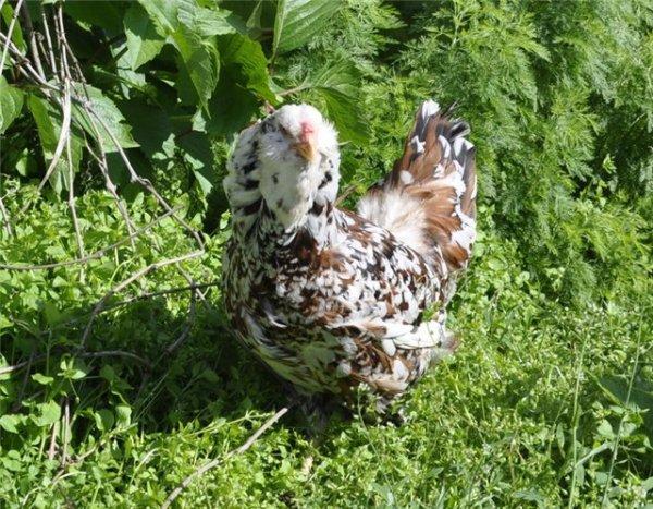 Куры орловской породы: внешний вид и характеристика поризводительности орловских ситцевых куриц и петушков